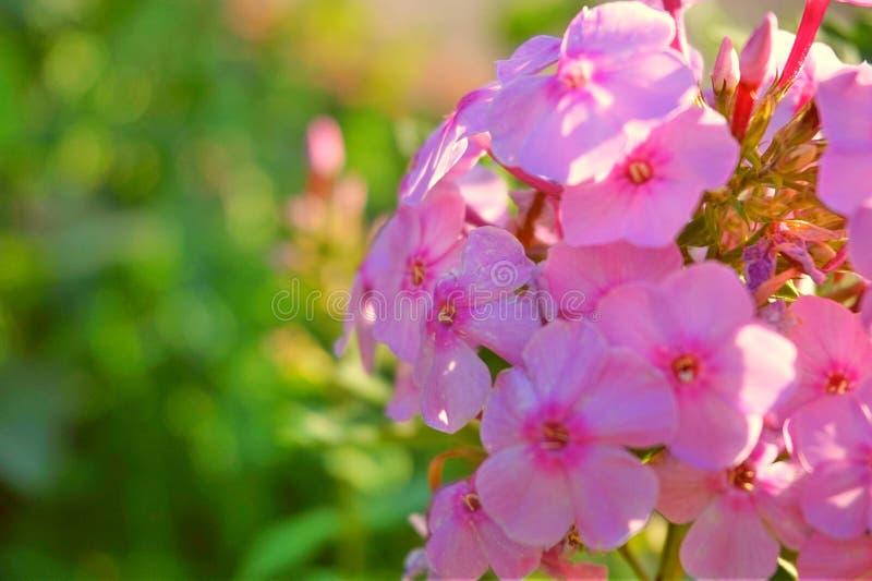 Belle fleur rose de jardin photos stock