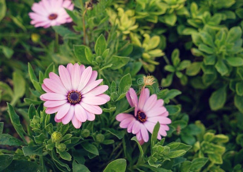 Belle fleur rose de marguerite des prés de marguerite de rivière photo libre de droits