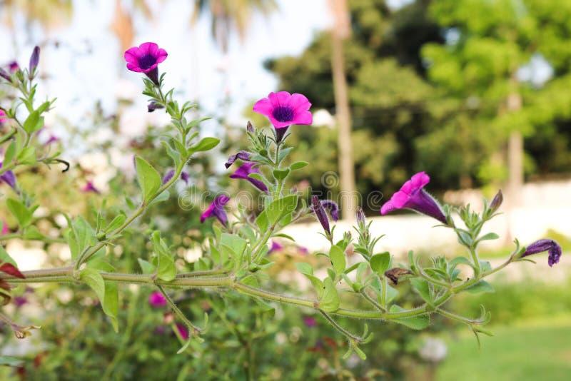 Belle fleur rose foncée d'herbe de jardin bangladais image libre de droits