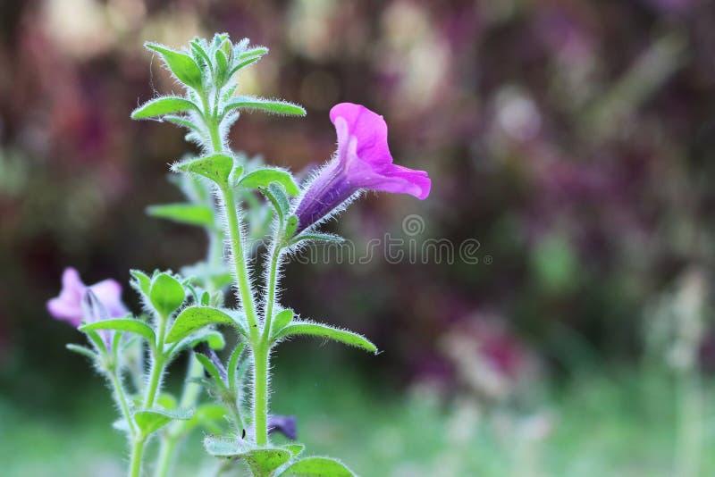 Belle fleur rose foncée d'herbe de jardin bangladais photo stock