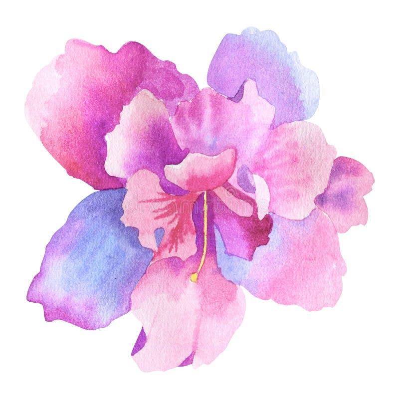 Belle fleur rose pourpre Illustration tir?e par la main d'aquarelle D'isolement sur le fond blanc illustration stock