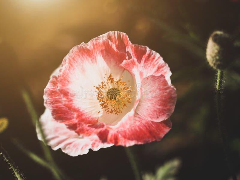 Belle fleur rouge image libre de droits