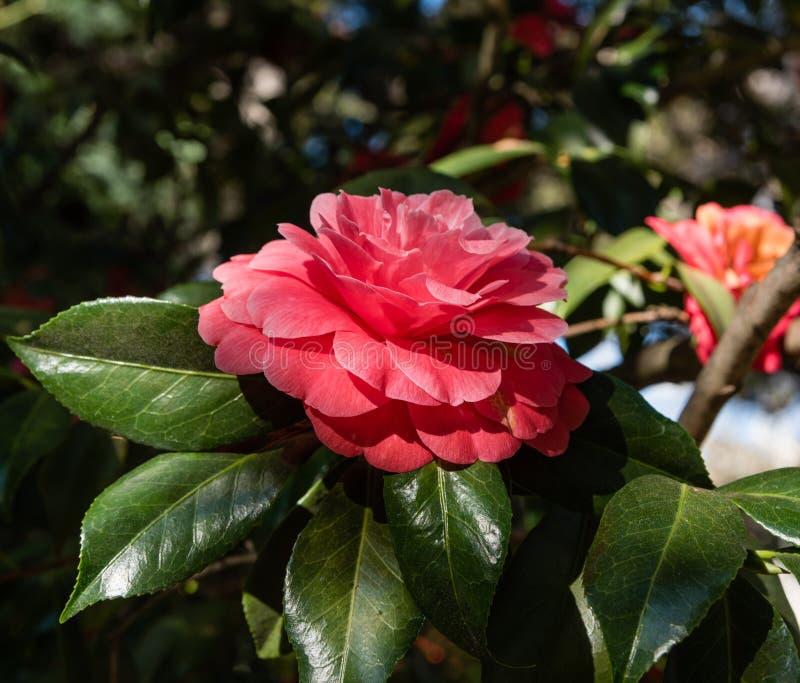Belle fleur rouge de camélia dans le printemps photo stock