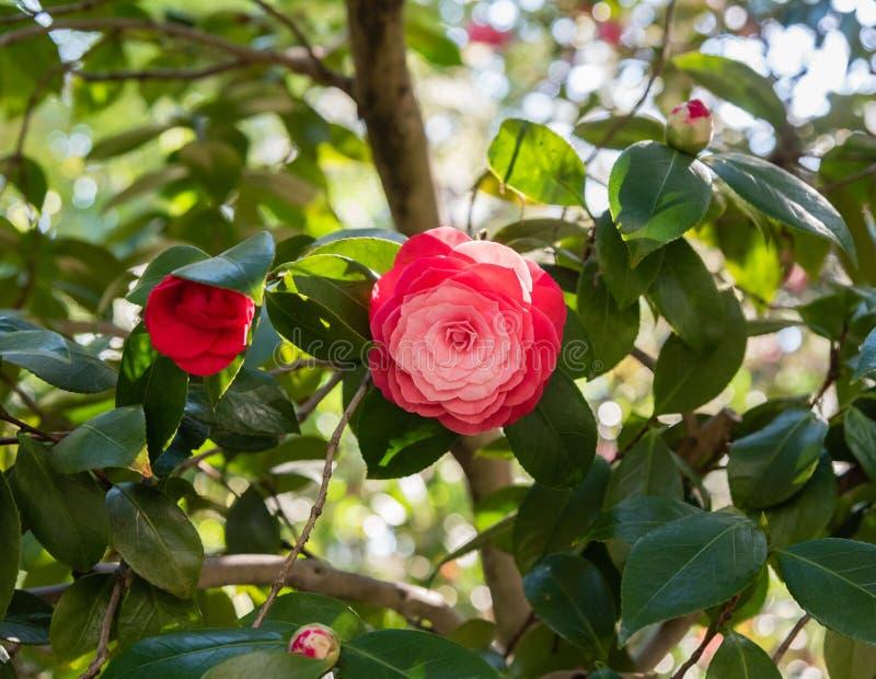 Belle fleur rouge de camélia dans le printemps image libre de droits