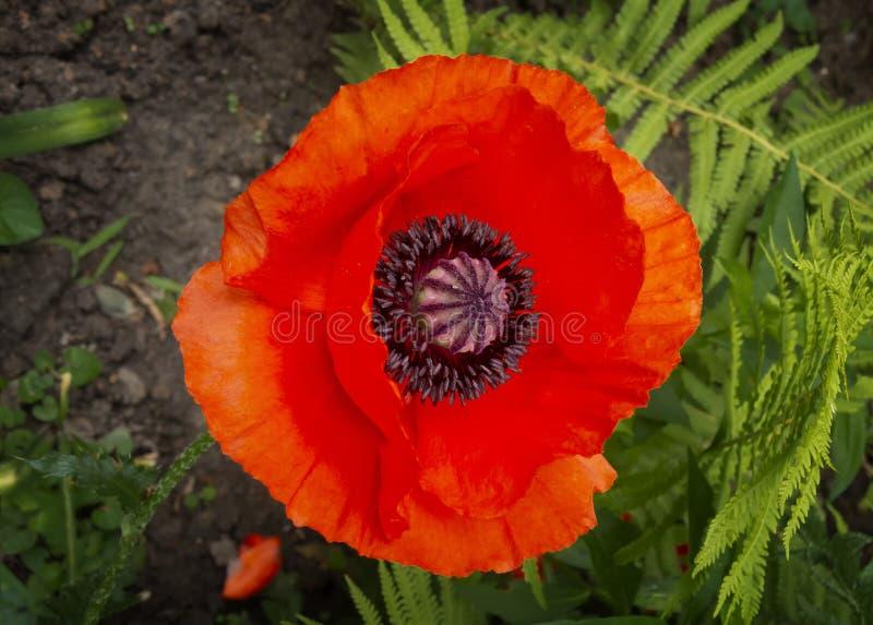 Belle fleur rouge de pavot dans le jardin photo libre de droits