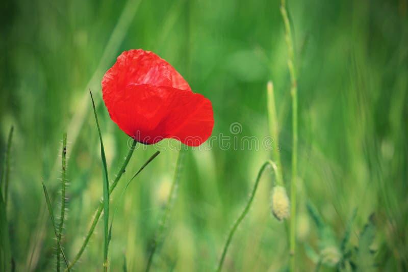 Belle fleur rouge - pavots Fond color? normal photos stock