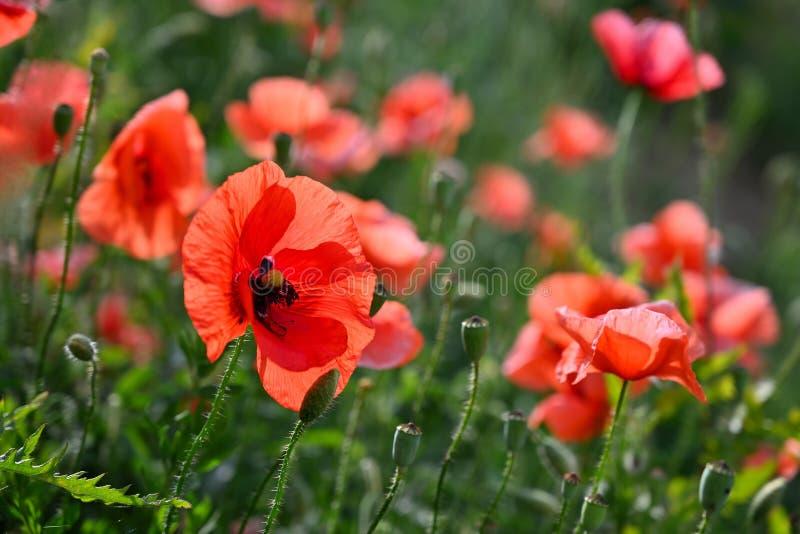 Belle fleur rouge - pavots Fond color? normal images stock