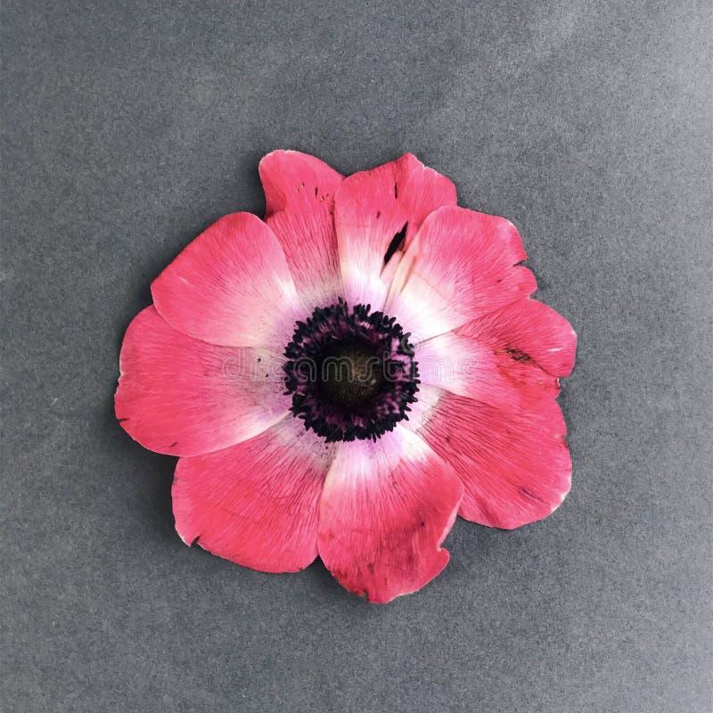 Belle fleur rouge sur un fond gris image stock