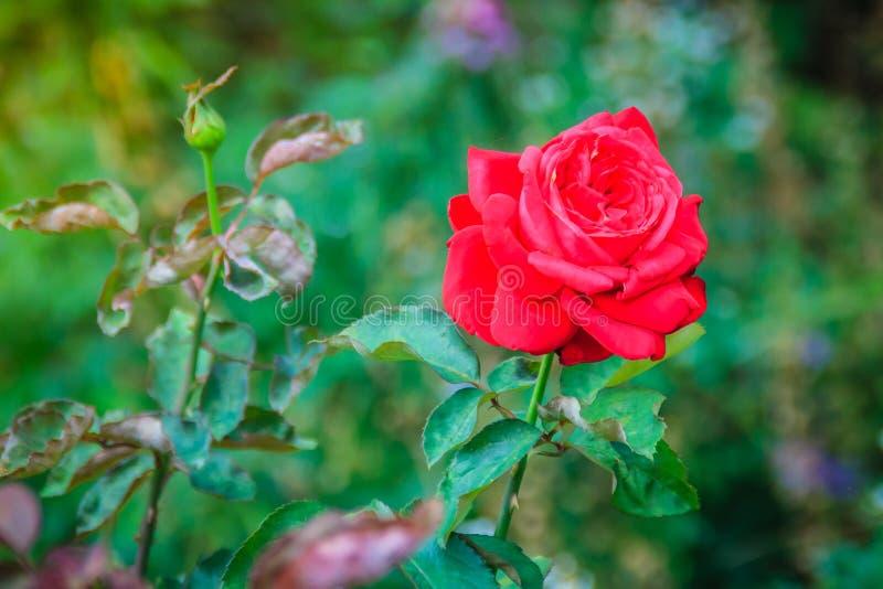 Belle fleur simple de rose de rouge sur la branche verte dans le jardin photographie stock
