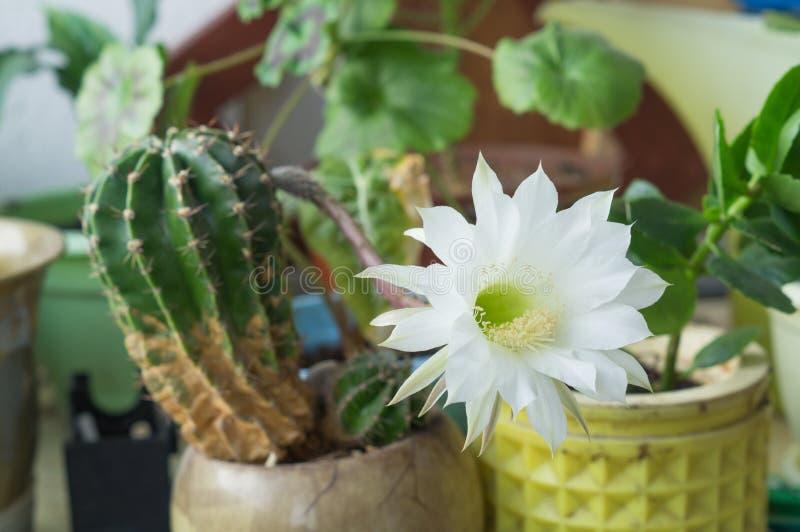 Belle fleur soyeuse de cactus d'Echinopsis Lobivia d'offre de blanc image stock