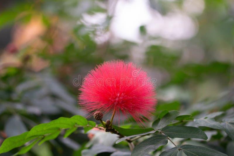 Belle fleur tropicale rose de boule de coton photo libre de droits