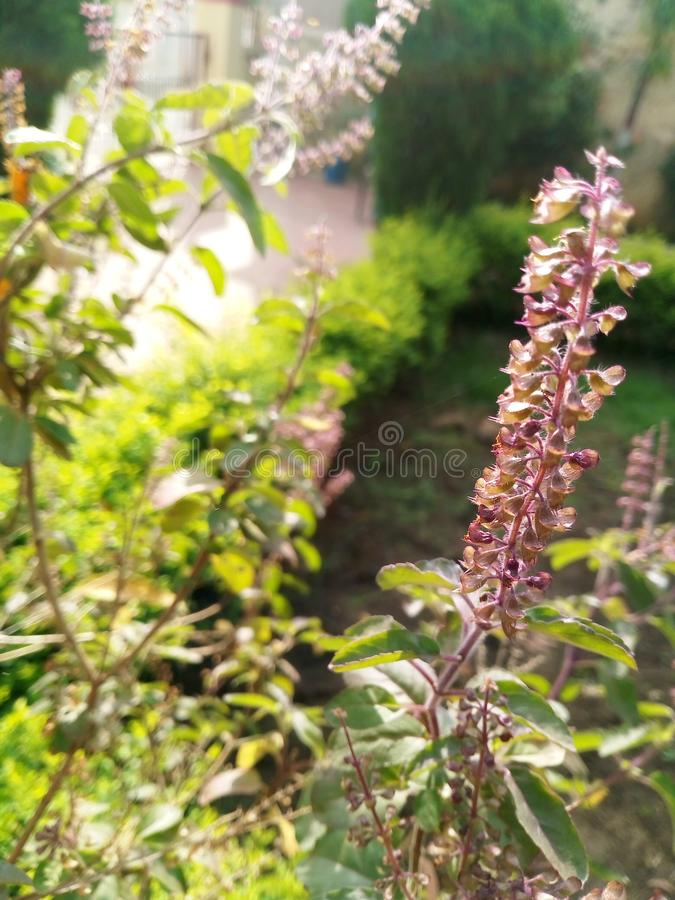 Belle fleur verte de Basil dans la saison d'hiver photos stock