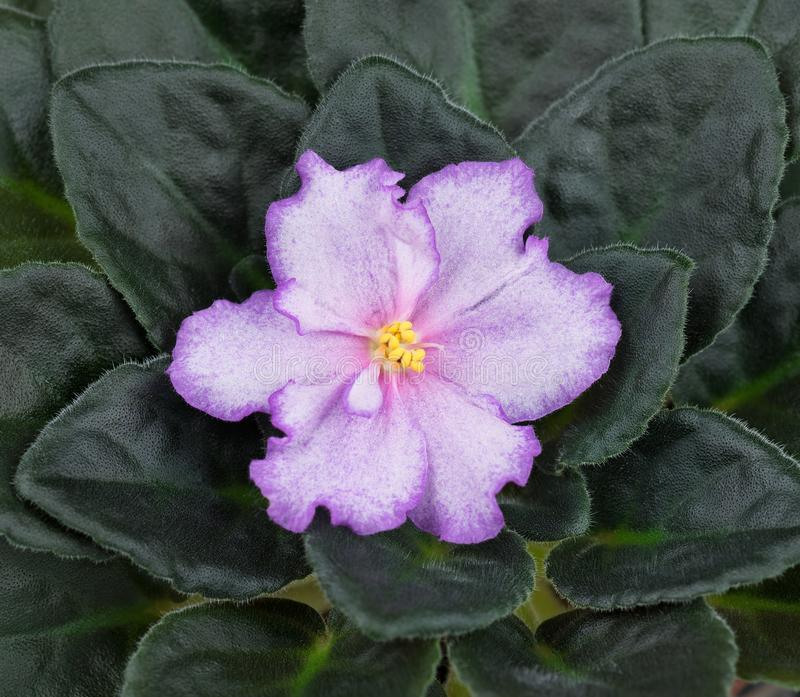 Belle fleur violette image stock