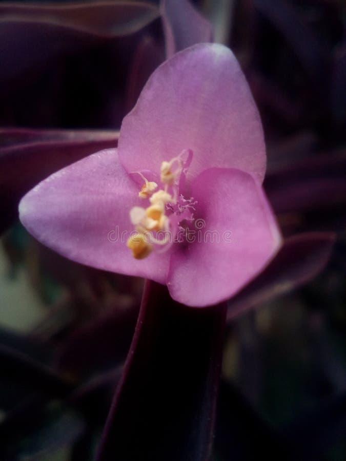 Belle fleur violette photo libre de droits