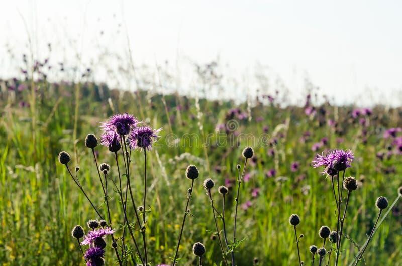 Belle fleurs de Scabiosa pourpre au milieu d'herbes vertes image stock
