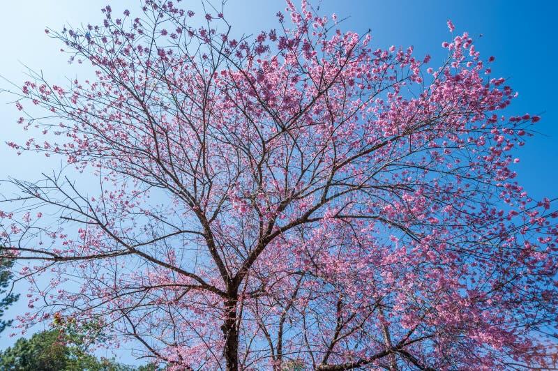 Belle floraison de cerisiers contre ciel bleu photos libres de droits