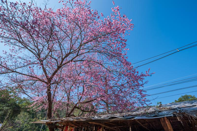 Belle floraison de cerisiers contre ciel bleu photo stock