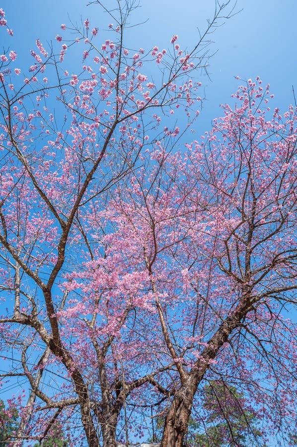 Belle floraison de cerisiers contre ciel bleu photo libre de droits