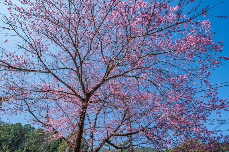 Belle floraison de cerisiers contre ciel bleu images libres de droits