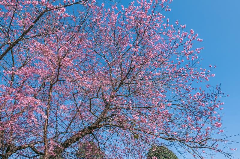 Belle floraison de cerisiers contre ciel bleu photographie stock