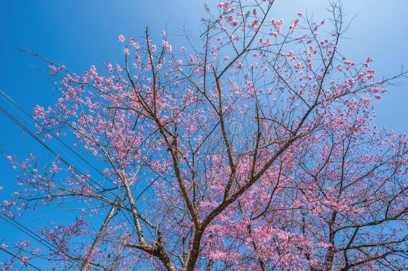 Belle floraison de cerisiers contre ciel bleu photos stock