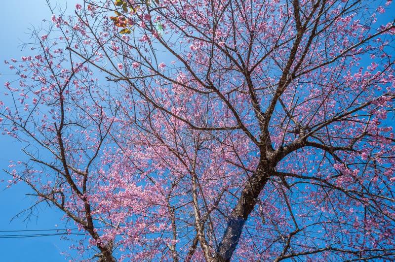 Belle floraison de cerisiers contre ciel bleu image libre de droits