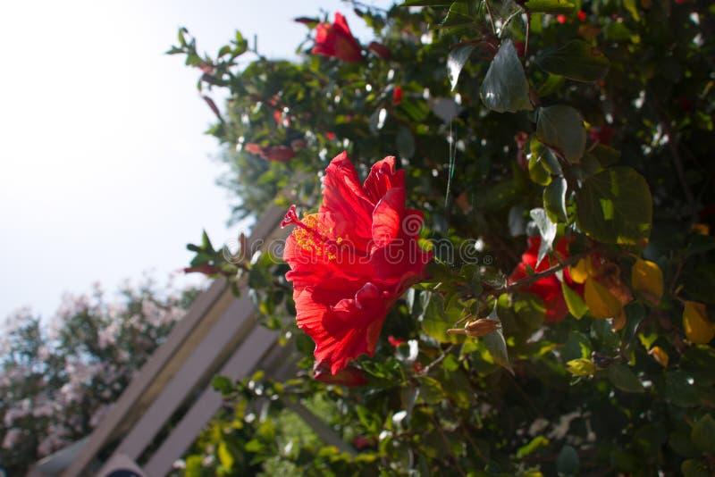 Belle floraison de magnolia images libres de droits