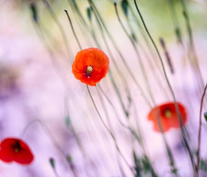 Belle floraison de pavots d'été photos libres de droits