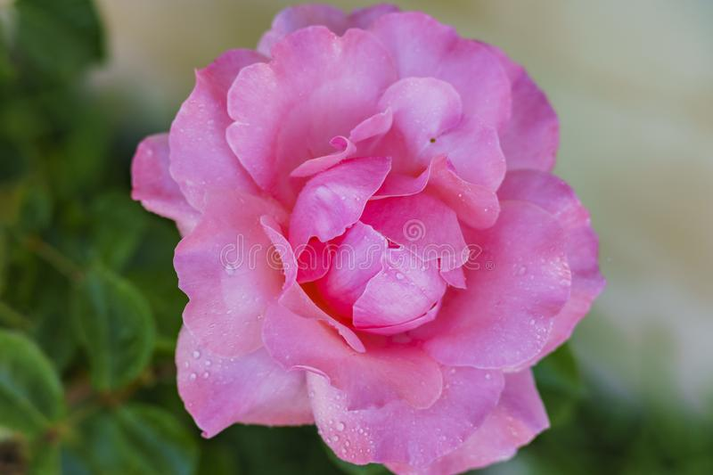 Belle floraison de rose de rouge image libre de droits