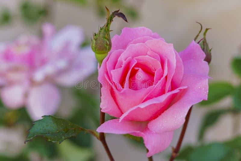Belle floraison de rose de rouge photo stock