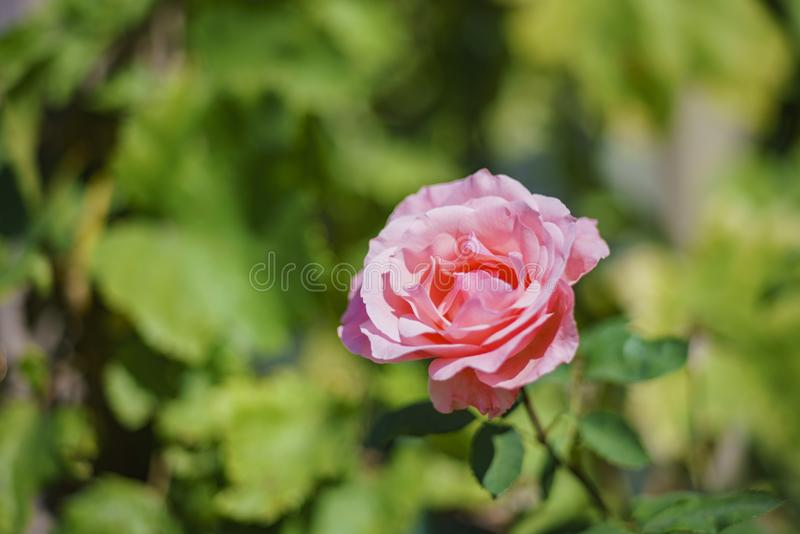 Belle floraison de rose de rouge photos stock
