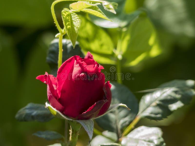 Belle floraison de rose de rouge images stock
