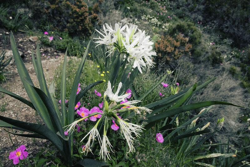 Belle flore s'élevant sur le flanc de coteau de l'île de la Sardaigne, Italie photographie stock