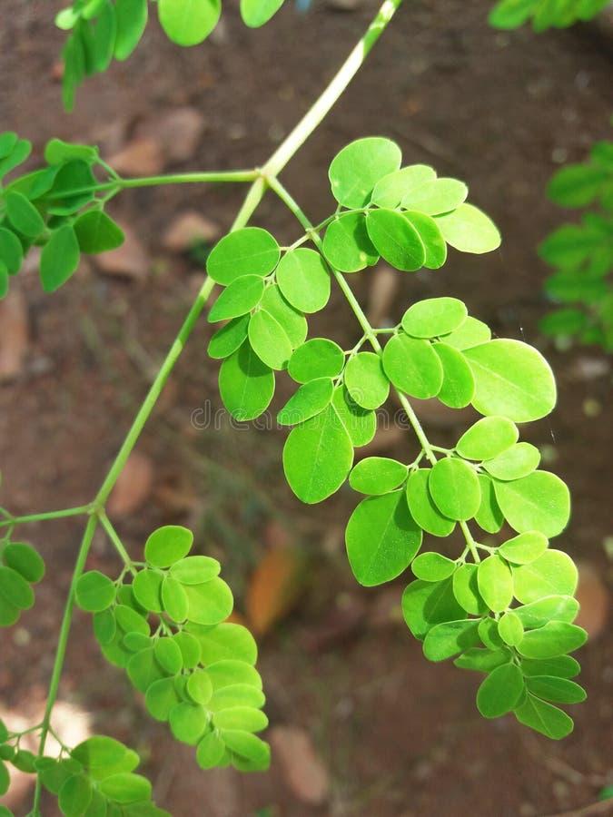 Belle foglie dell'albero di bacchetta immagini stock libere da diritti