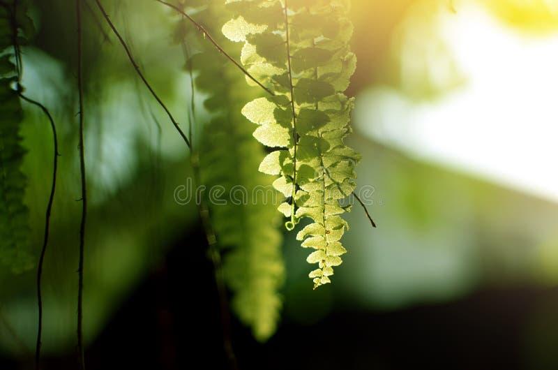 Belle foglie della felce, fondo al sole immagine stock
