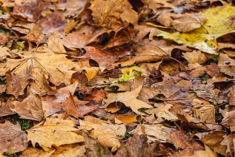 Belle foglie di acero asciutte nei colori marroni ed arancio Scena di autunno fotografia stock libera da diritti