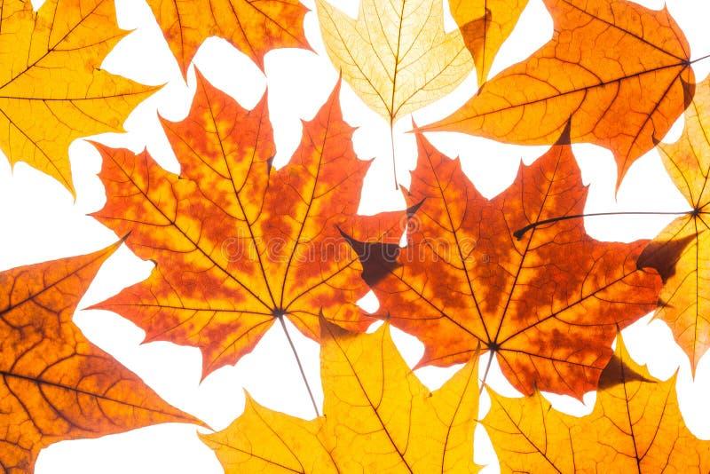 Belle foglie di autunno variopinte della raccolta immagine stock