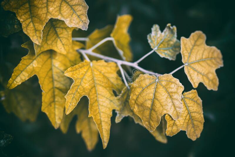 belle foglie di quercia marrone su uno sfondo scuro il giorno d'autunno Foglie di quercia colorate e vibranti durante fotografia stock