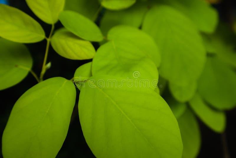 Belle foglie verde chiaro e gialle fresche dell'albero sul fondo e sulla carta da parati del modello di colore della natura fotografia stock