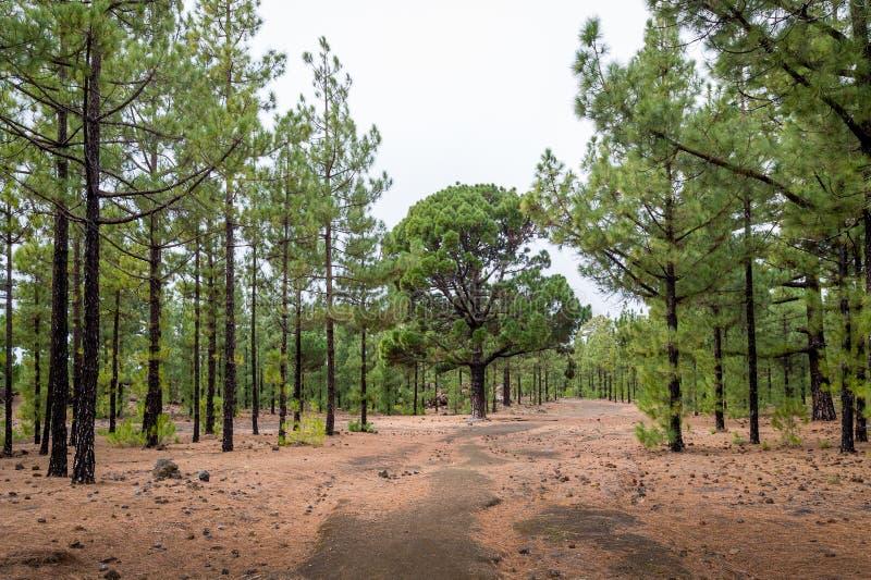 Belle forêt à l'itinéraire circulaire de trekking de Chinyero, Ténérife images libres de droits