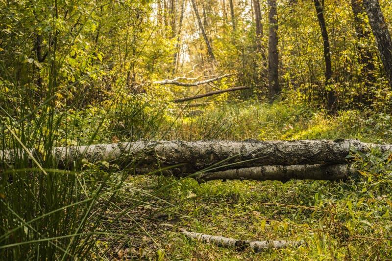 Download Belle forêt d'automne image stock. Image du saison, bouleau - 45353613
