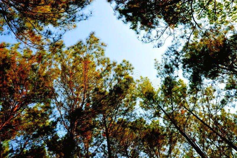 Belle forêt de pin à Yogyakarta photos libres de droits