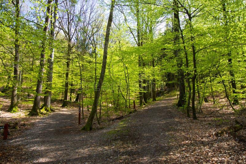 Belle forêt de ressort au Danemark photographie stock libre de droits