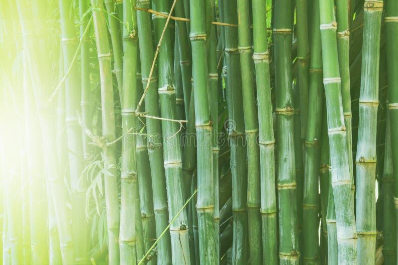 Belle forêt en bambou, fond vert de nature photographie stock libre de droits