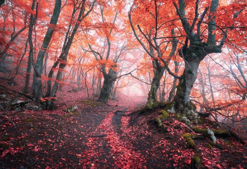 Belle forêt rouge magique en brouillard en automne Paysage de conte de fées image stock