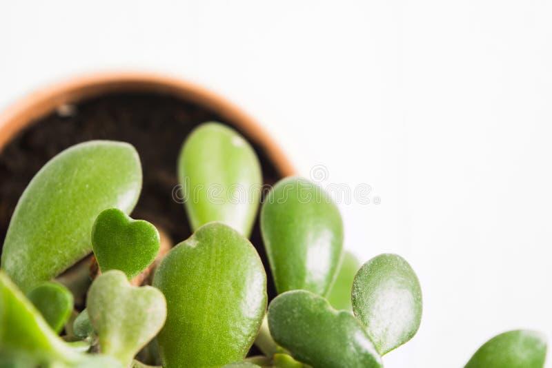 Belle forme de coeur de vert d'arbre d'usine de feuilles avec l'espace de copie pour le texte, foyer sélectif images stock