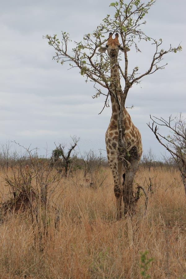 Belle girafe photos stock