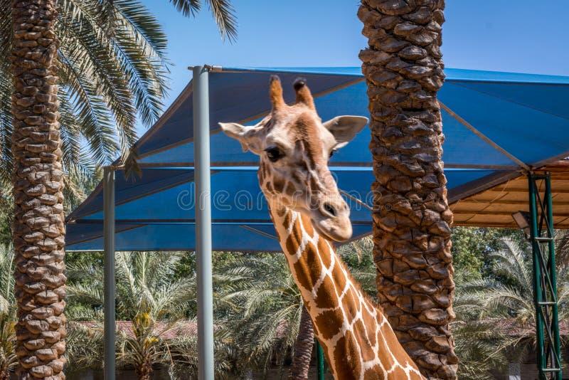 Belle girafe entre les palmiers la jungle images stock