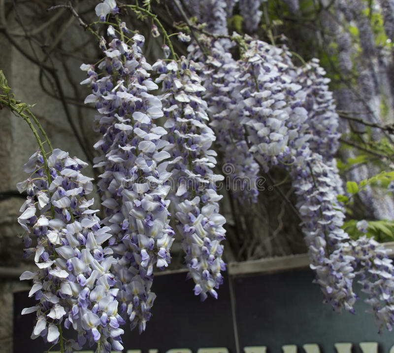 Belle glicine giapponesi che scalano vecchio muro di mattoni in giardino fotografie stock libere da diritti
