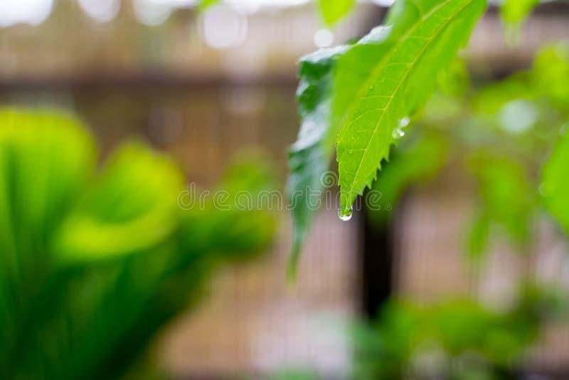 Belle gocce dell'acqua piovana trasparente sulla macro verde della foglia Molte gocce di rugiada nella mattina in sole Bella stru immagini stock libere da diritti
